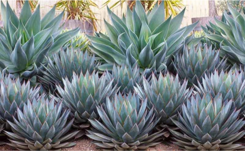 Agave 'Blue Flame' and Agave 'Blue Glow