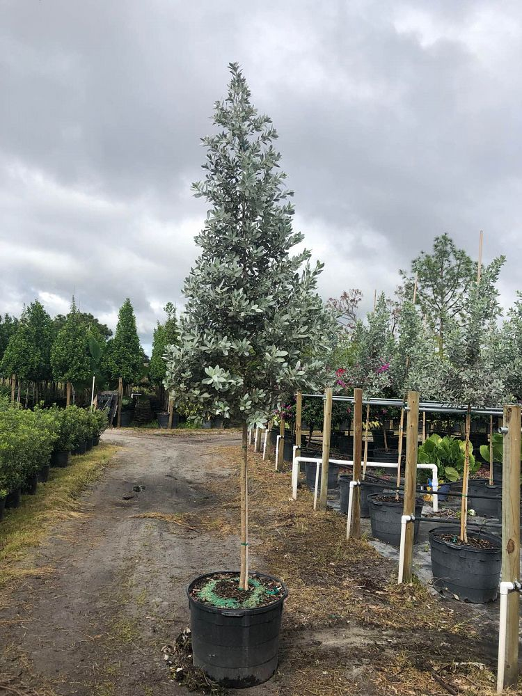 25 Gallon Silver Buttonwood Install Price