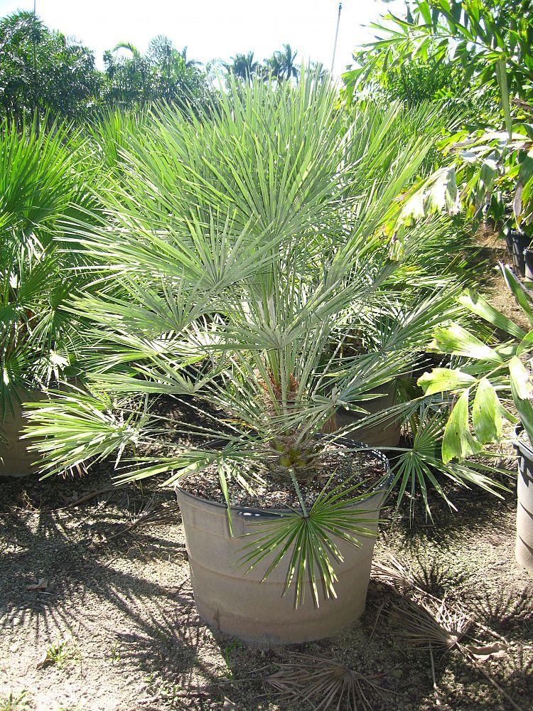 25 gallon European Fan Palm Install Price