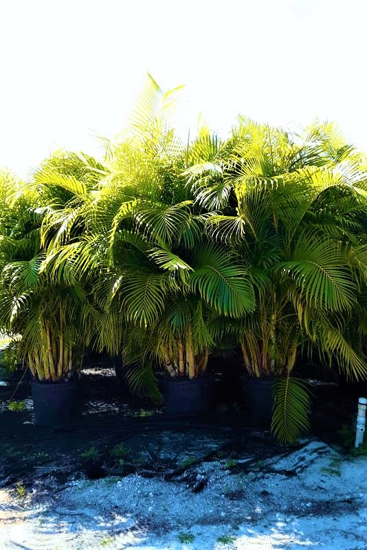 Areca Palm Price