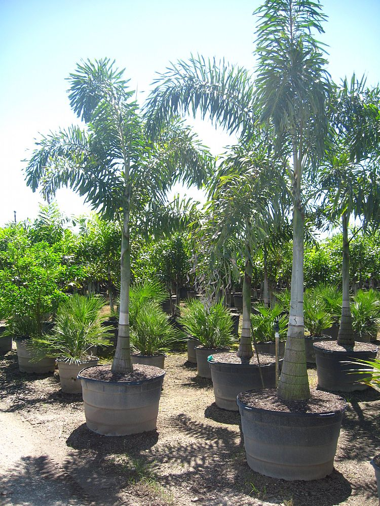 45 Gallon Foxtail Palm Single