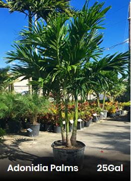 Adonia Christmas Palm Cost