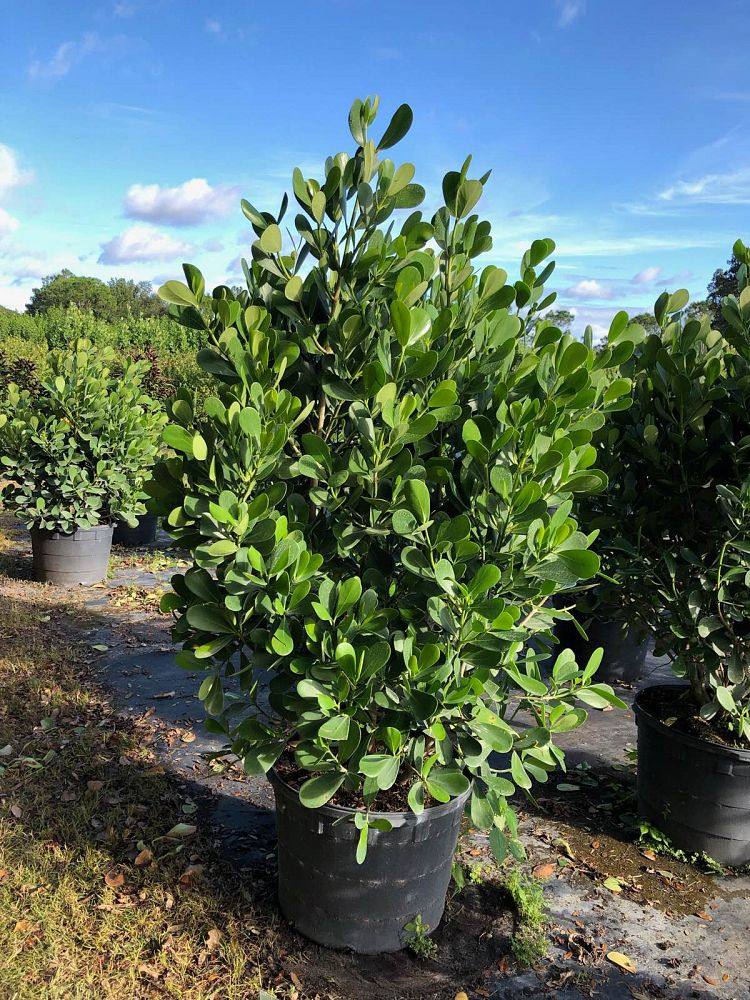 Clusia Hedge 6ft Price