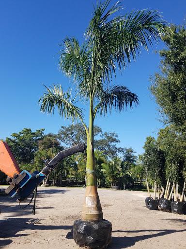 Royal Palm tree planting