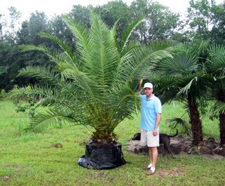 canary island date palm 45G