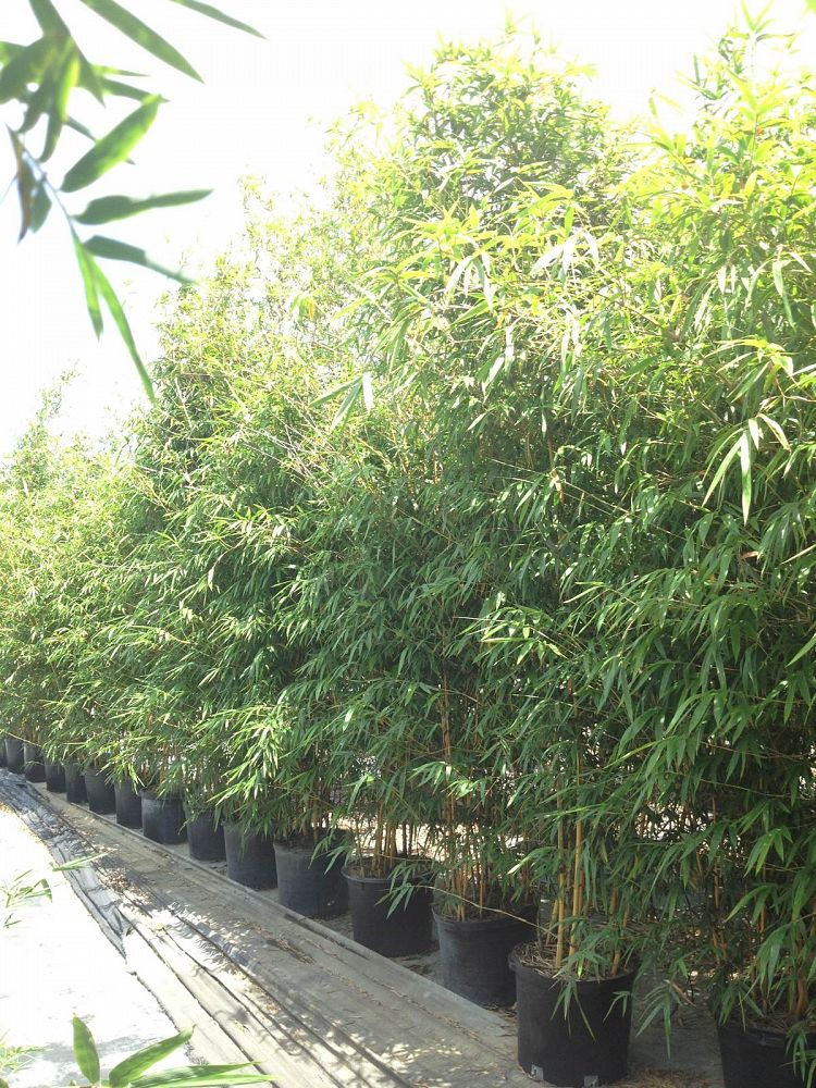 Asian Lemon Bamboo
