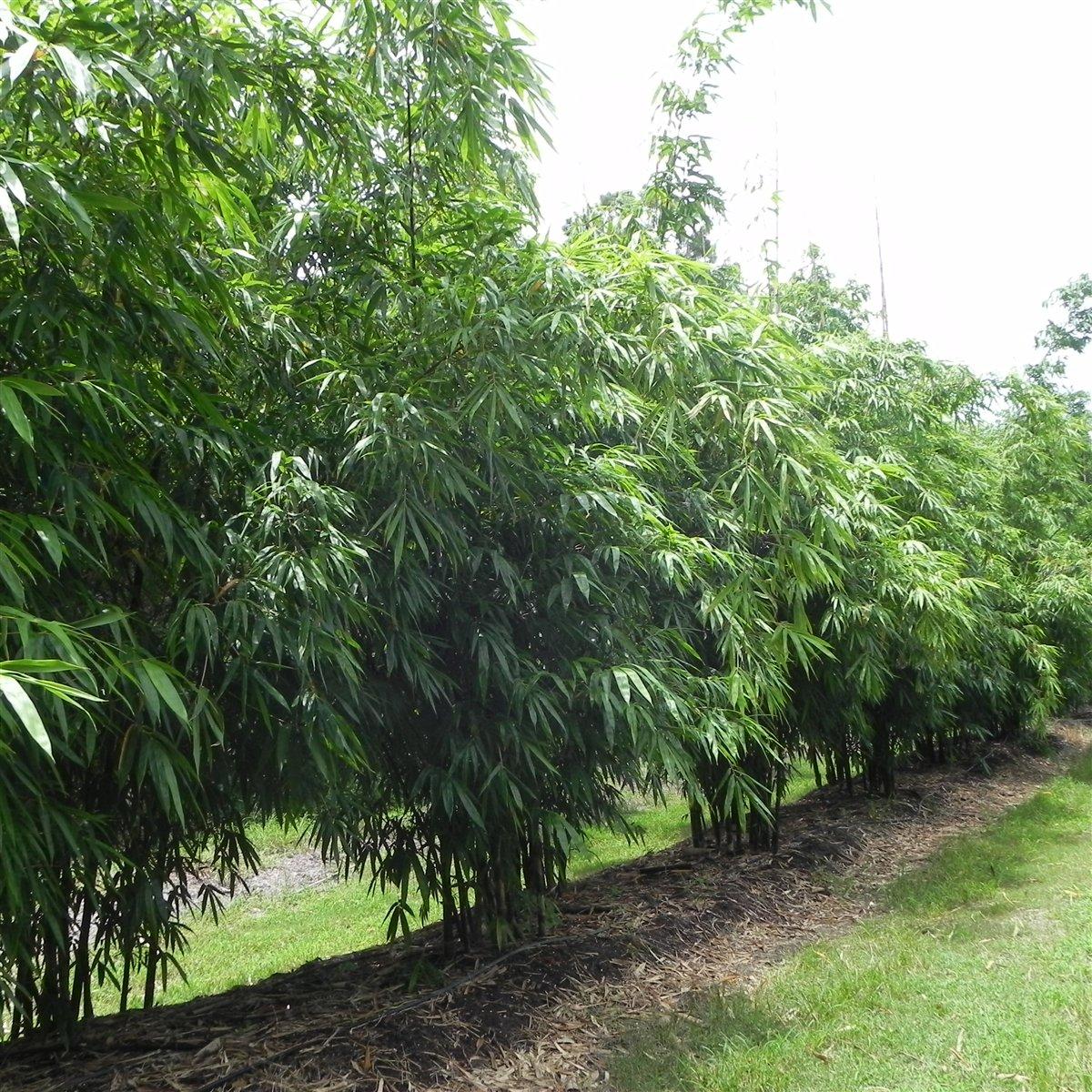 Timor Black Bamboo 2