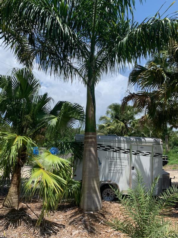 Royal Palm Florida Fancy