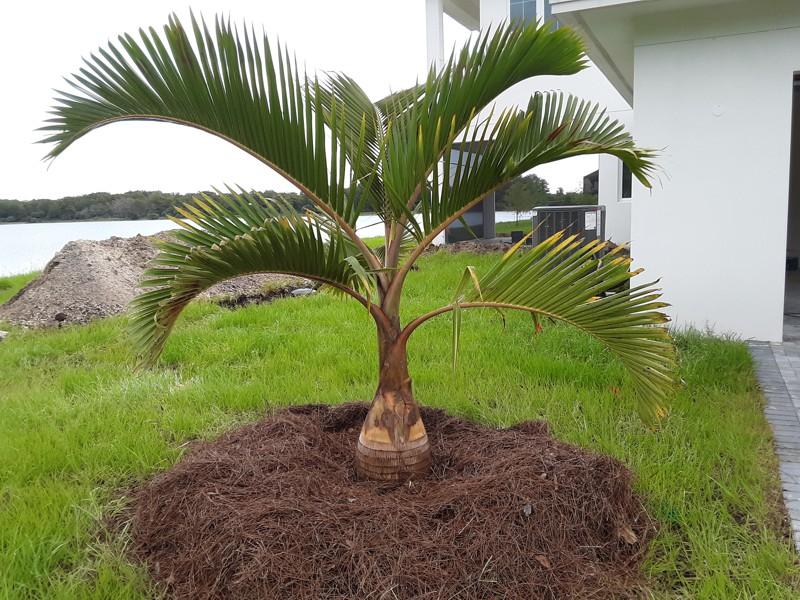 Bottle Palm Feild Grown