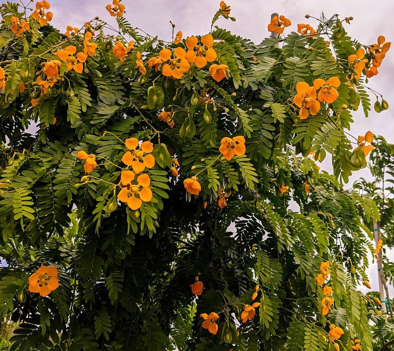 Bulnesia arborea - Verawood