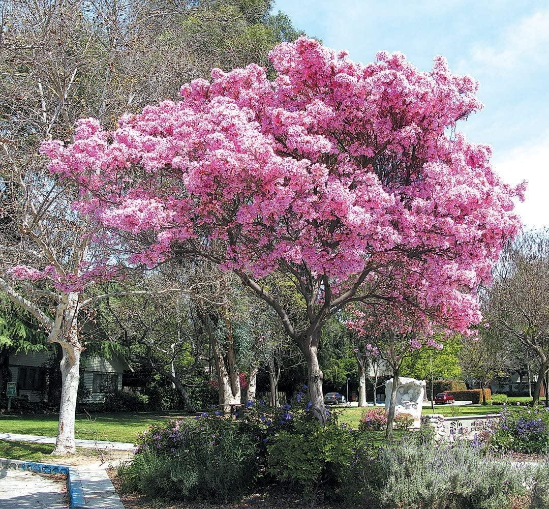 Pink Trumpet Tree Flower