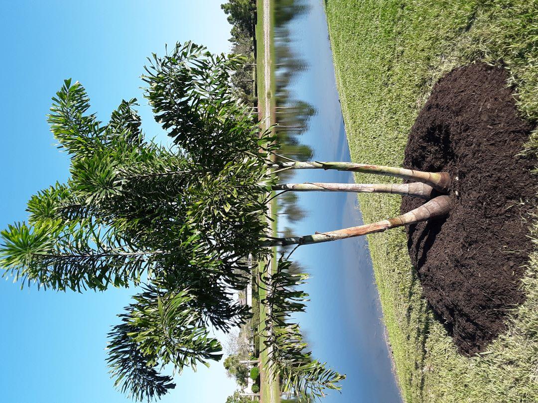 Foxtail Palm Triple 12-16 ft.