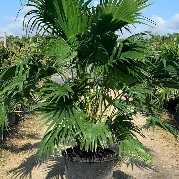 25 Gallon Chinese Fan Palm Install Pricing