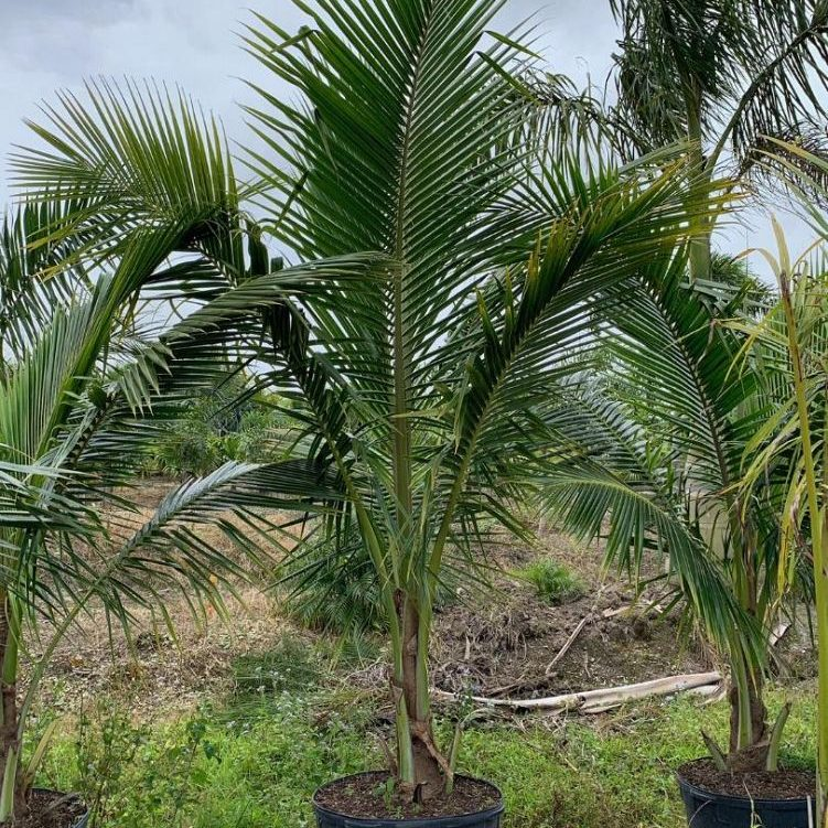 Coconut palm Cost