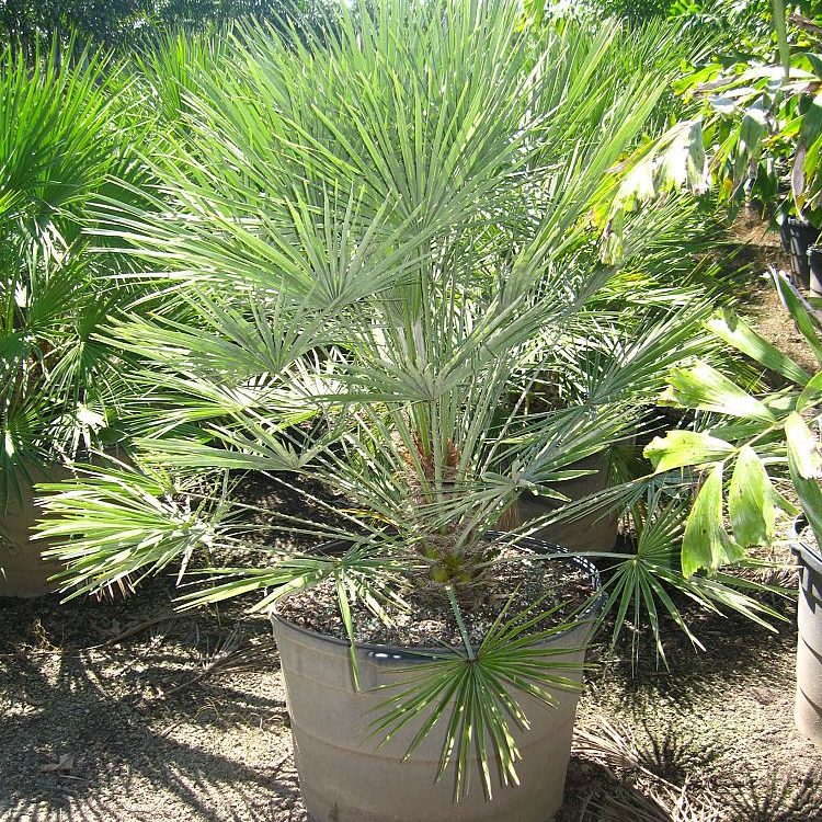 25 gallon European Fan Palm Install Price