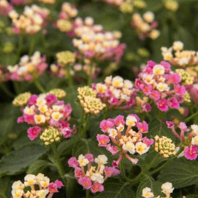 South Florida Butterfly Gardening Bandana® Pink Lantana