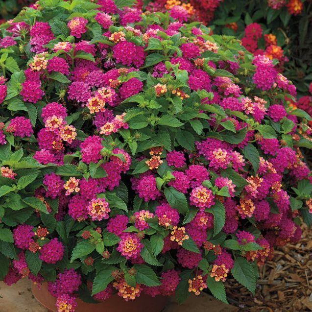 South Florida Butterfly Gardens Bandito™ Lantana