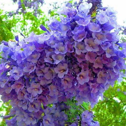 Bonsai Blue Jacaranda