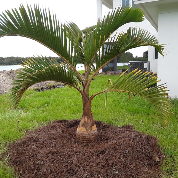 Bottle Palm Feild Grown
