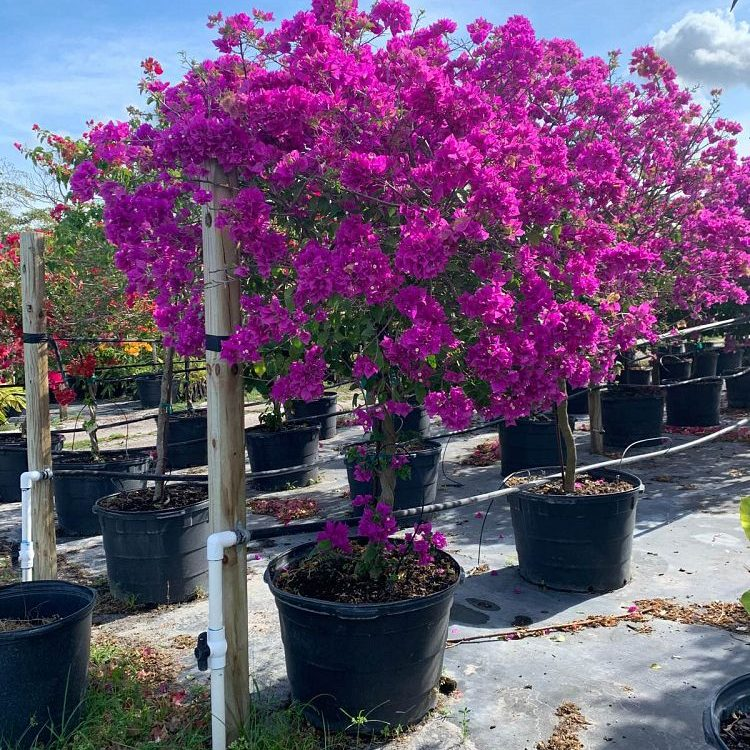 Bougainvillea 'New River'