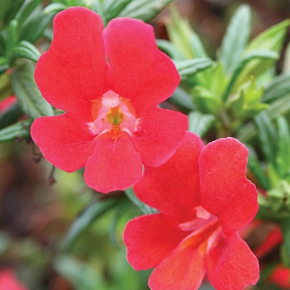 South Florida Butterfly Gardens Curious™ Red Monkey Flower