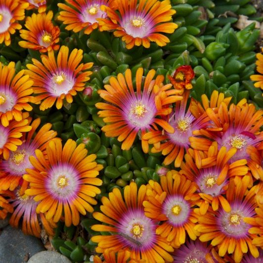 South Florida Butterfly Gardens Fire Spinner® Ice Plant