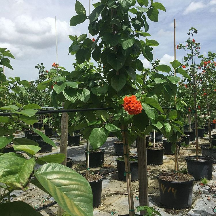 Orange Geiger Tree