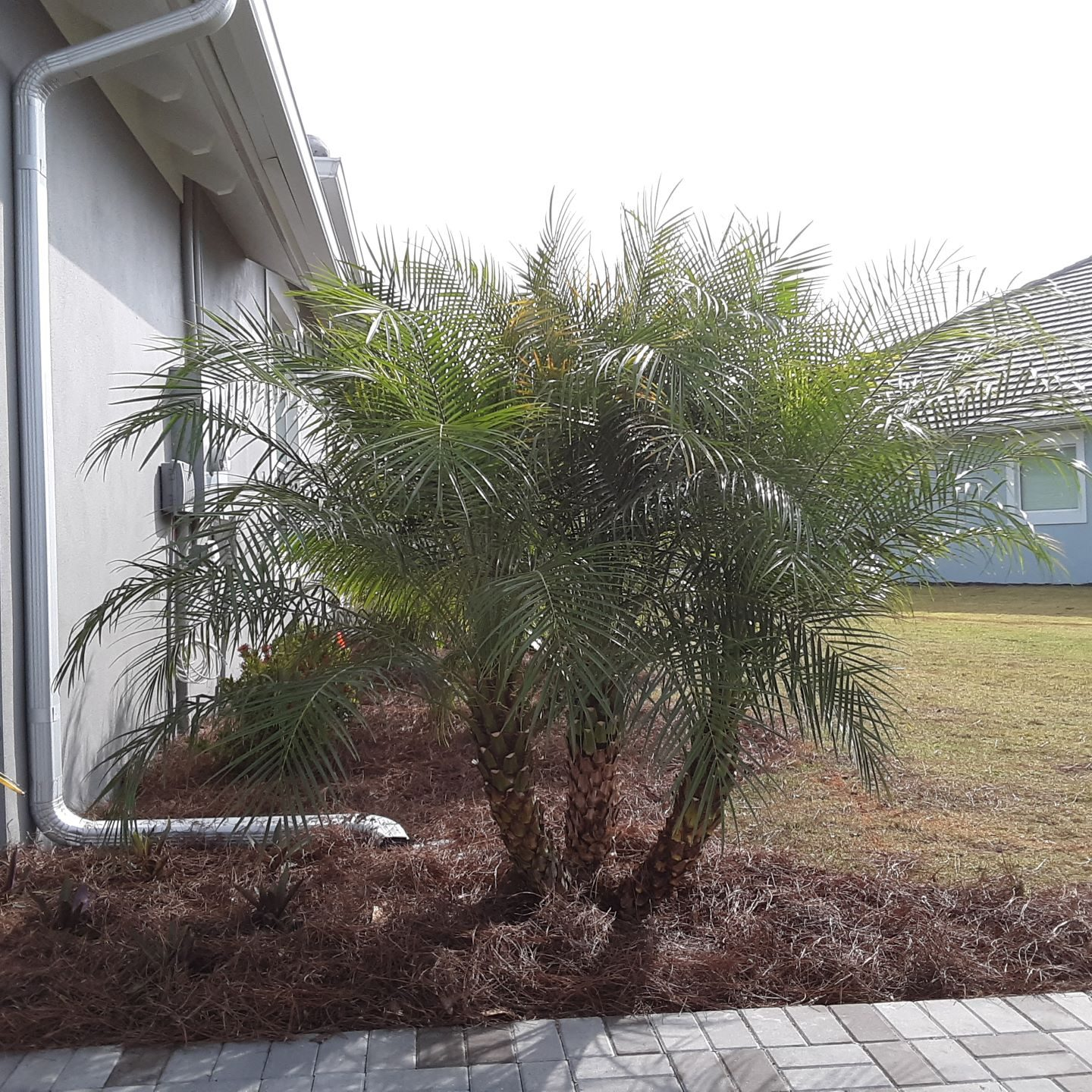 Pygmy Date Palm Robellini 5-6 ft. Cost