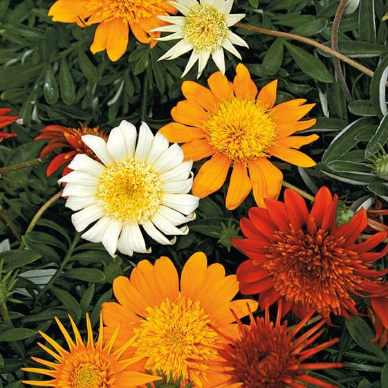 South Florida Butterfly Gardens Sunbather® Gazania