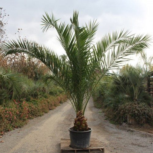 canary island date palm install price