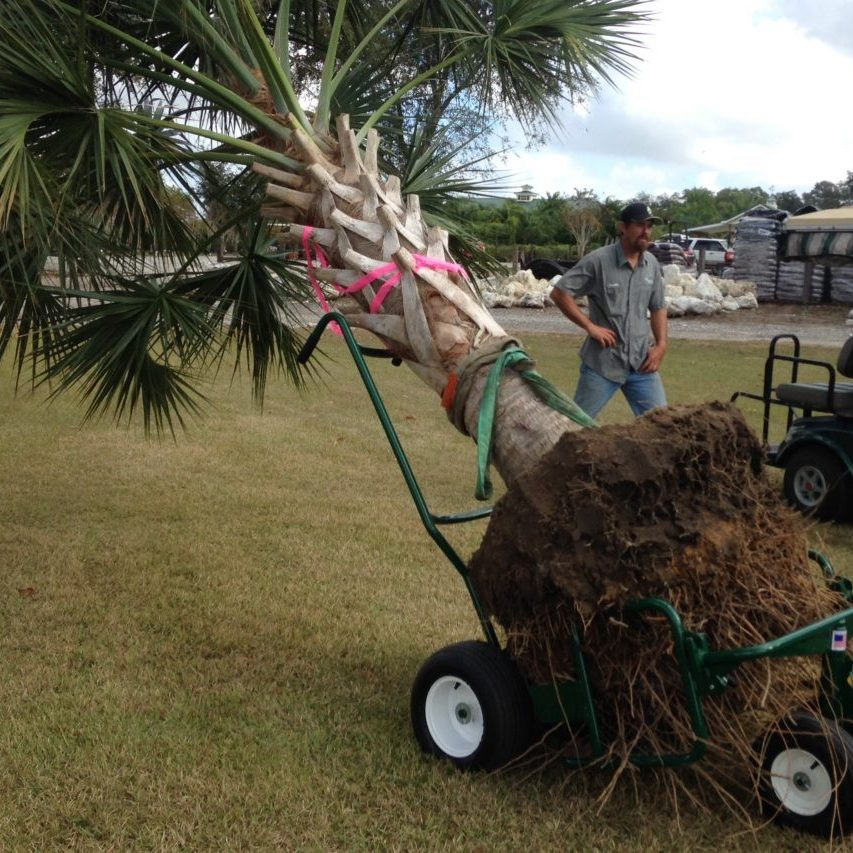 installing large palm trees