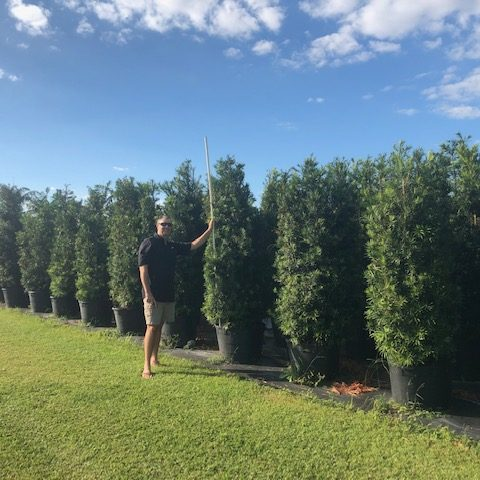 Japanese yew - podocarpus hedge for privacy
