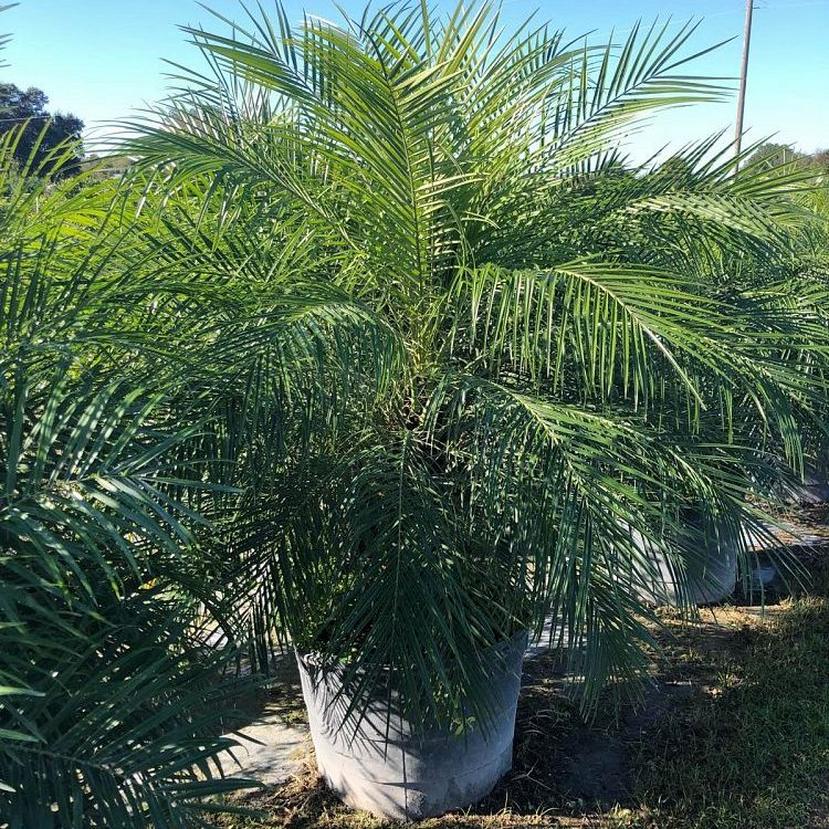 pygmy date palm triple 25 gallon