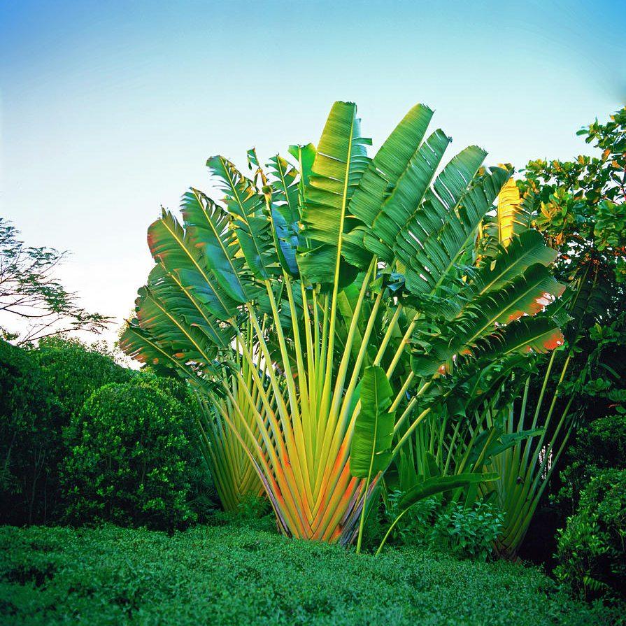 traverlers palm